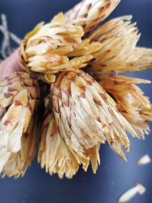 protea bimbó