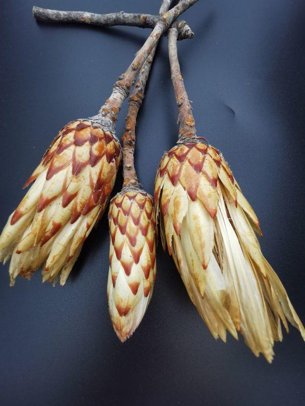 protea bimbó2