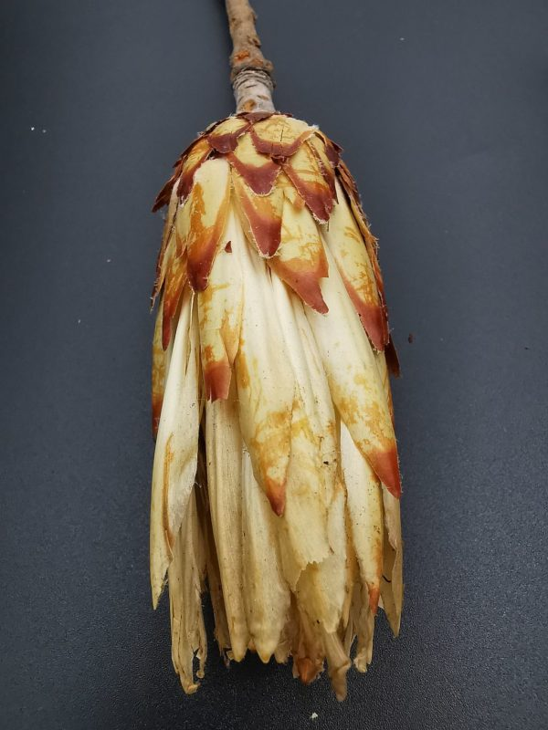 protea bimbó3